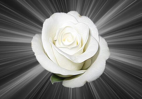 36_роза